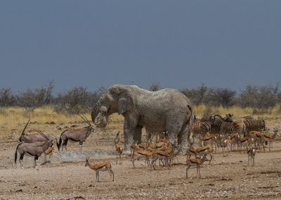 African elephant big five etosha waterhold safari namibia 6024