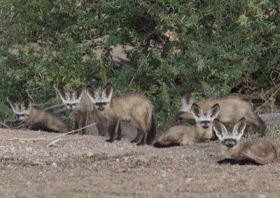 Bat-eared fox family botswana south africa wildife safari 3H8A6901