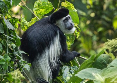 Black and white colobus monkey uganda primate safari