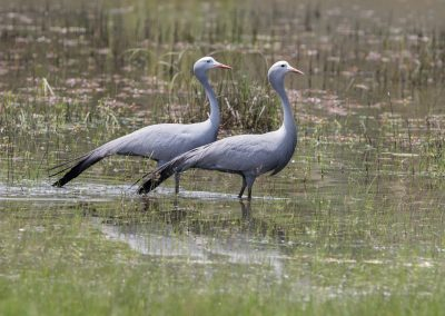 Blue Crane Cape to Kruger birding tour wildlife safari south africa