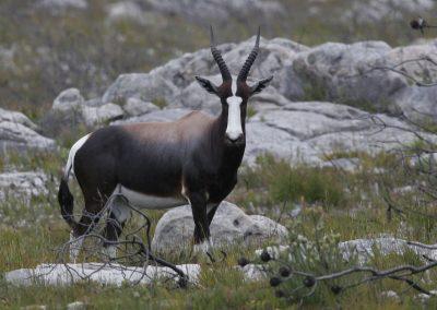 Bontebok Cape to kruger birding tour wildlife safari south africa