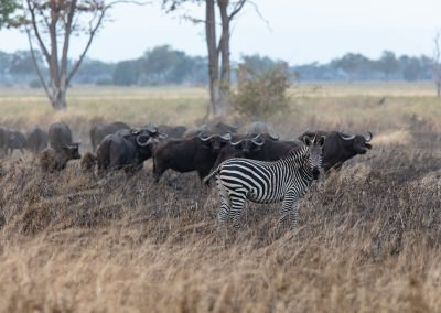 Buffalo and zebra savannah wildlife safari africa