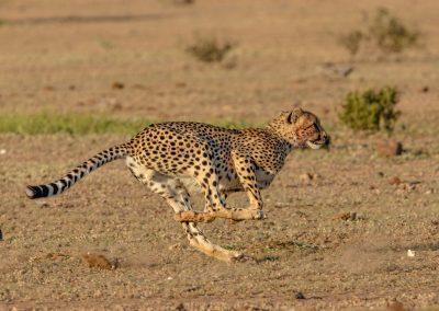 Cheetah african mammal predator wildlife safari southern africa 3H8A6572