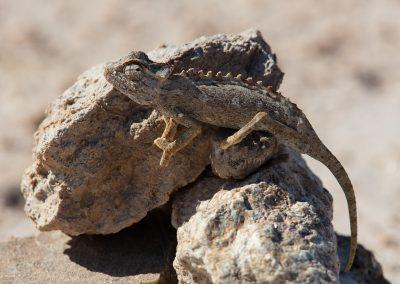 Desert chameleon namibia namib desert wildlife safari africa