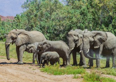 Desert elephants brandberg namibia damaraland wildlife and birding tour 5711