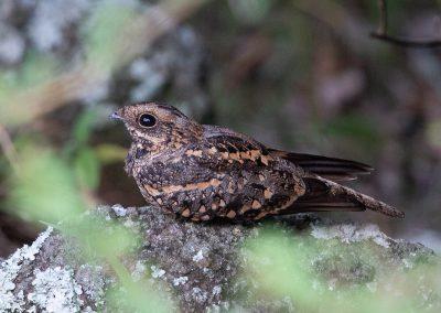Fiery-necked nightjar bird south africa birding tour