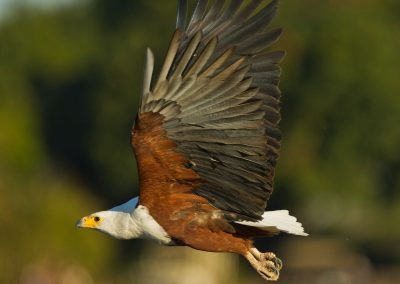 Fish Eagle cape to Kruger birding tour south africa