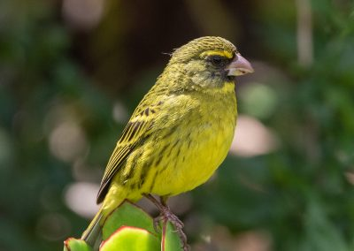 Forest canary garden route birding and nature photographic tour south africa