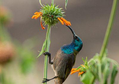 Green-headed sunbird Uganda birding safari