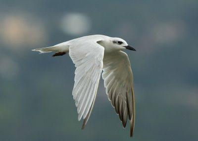 Gull-billed tern birding tour bird safari uganda