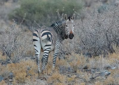 Hartmann's mountain zebra namibia desert naukluft wildlife safari H8A0362