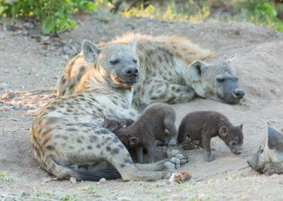 Hyena family Kruger wildlife safari south africa