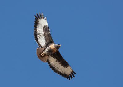Jackal buzzard raptor south africa birding tour