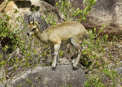 Klipspringer Cape to kruger birding tour wildlife safari south africa