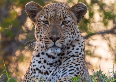 Leopard big five african mammals predators wildlife safari african bushveld sabi sands kruger safari