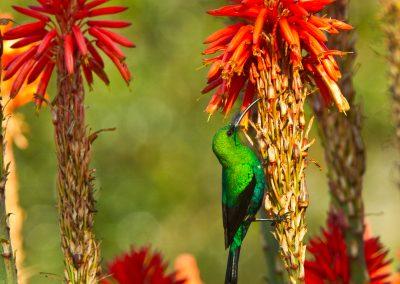 Malachite sunbird on aloe south africa birding tour