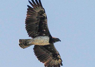 Martial Eagle Kruger birding tour wildlife safari south africa
