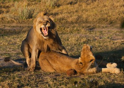 Mating lions big five Kruger wildlife safari south africa