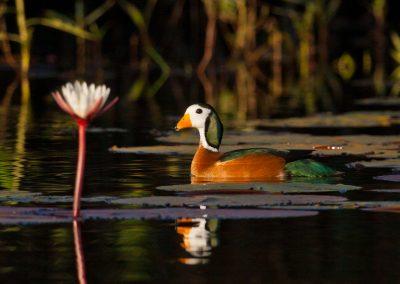 Okavango Swamp delta botswana safari bird tour pygmy goose