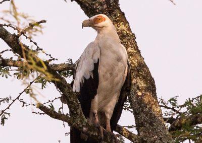 Palmnut vulture, birdind tour safaris south africa uganda zimbabwe