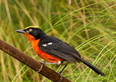 Papyrus gonolek uganda birding safari