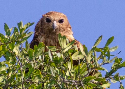 Pels fishing owl okavango delta swamps botswana birding and wildlife safari