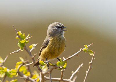 Penduline tit western cape south africa bird tour