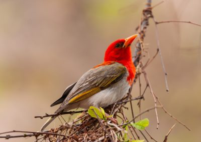 Red-headed weaver south africa birding tour