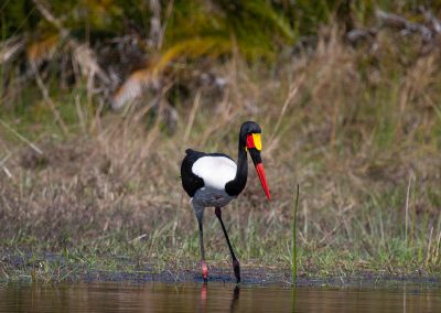 Saddle-billed stork africa safari south africa kruger southern africa birding tour
