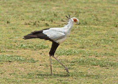 Secretary bird Garden route birding tour south africa