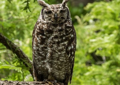 Spotted eagle owl kirstenbosch cape town south africa birding tour