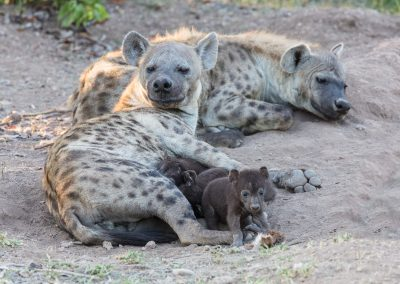 Spotted hyena family group botswana wildife safari 3H8A6705