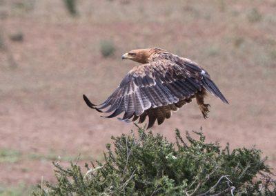 Tawny eagle flying birding tour south africa botswana 3H8A6356