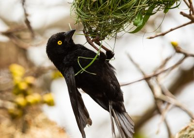 Vieillots Black Weaver Uganda birding safari