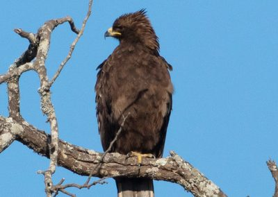 Wahlber's eagle south africa botswana birding tour avianleisure H8A8843