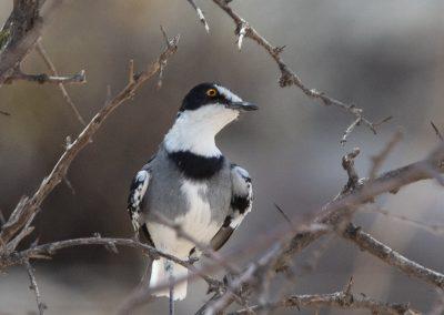 White-tailed shrike namibia desert namib birding tour