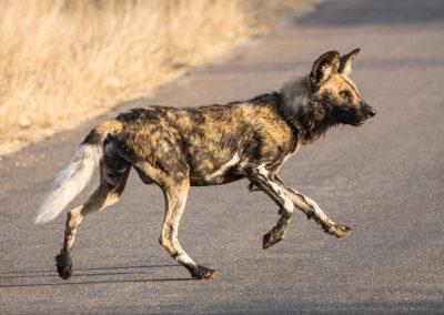 Wild dog Kruger wildlife safari south africa