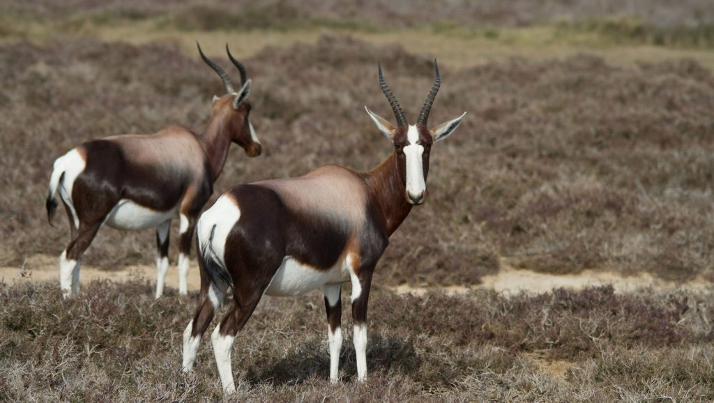 bontebok grazing at Cape Point Tour