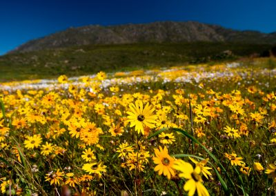 cape town spring flowers
