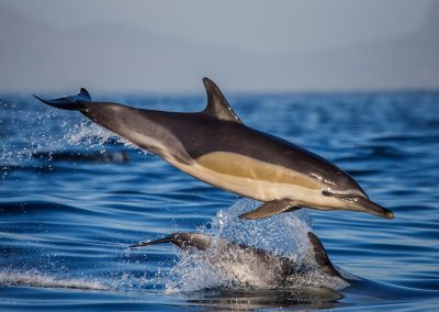 Two dolphins in flight