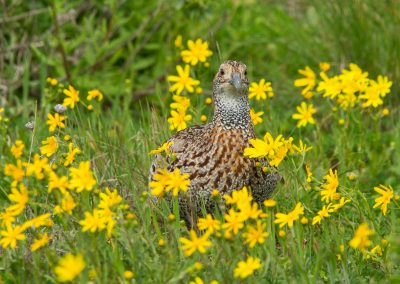 grey-winged francolin in spring flowers west coast jacobs bay birding flower tour south africa