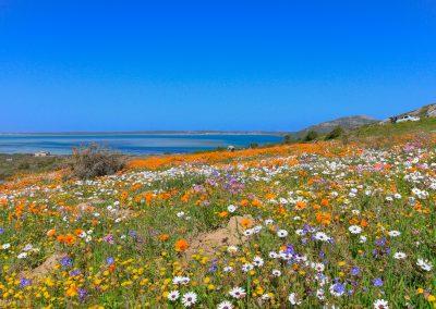spring wild flowers west coast south africa langebaan lagoon