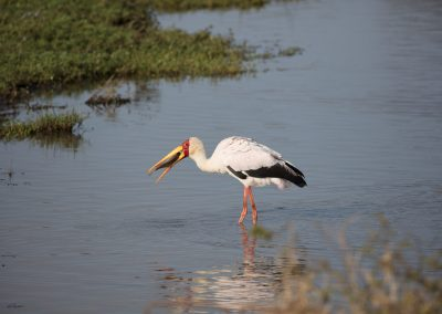 yellow-billed stork photographic tours southern africa