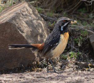 Drakensberg rockjumper - male
