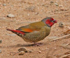Orange-winged Pytilia 3113
