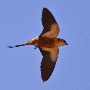Mosque Swallow 0743