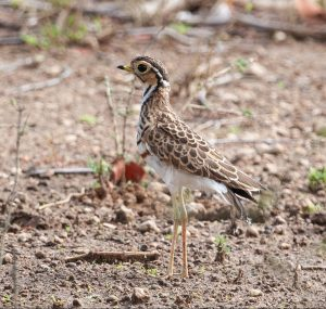 Three-banded Courser 7006