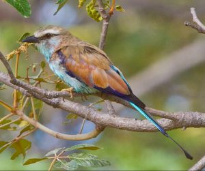 Racket-tailed Roller 8827