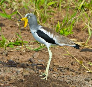 White-crowned Lapwing 9408