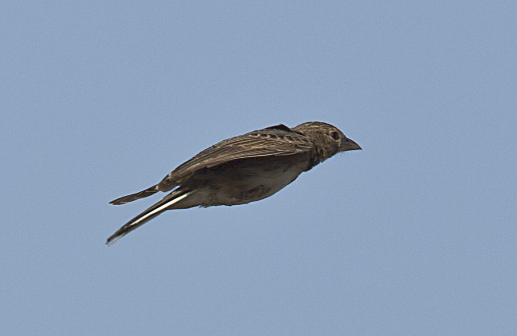 William's Lark in flight
